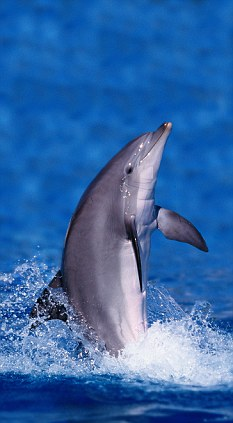 When hunting, dolphins blow 'bubble nets' - but are still able to use sonar - 'counting clicks' through the mass of bubbles