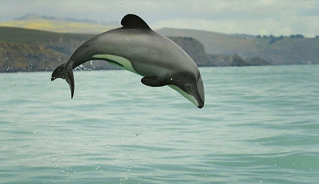 Doomed dolphin? Mauis dolphins are found only in shallow waters off New Zealand, where the population has been decimated by trawl and gillnets - huge walls of nylon netting used to catch fish