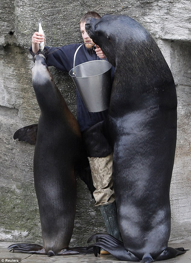 Feeding time: The keeper puts fish into the mouths of the South American sea lions