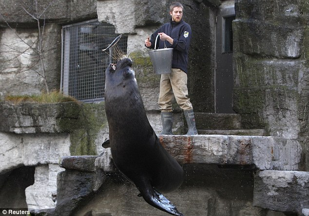 Daily ritual: The animal leaps in the air as the keeper throws fish towards him