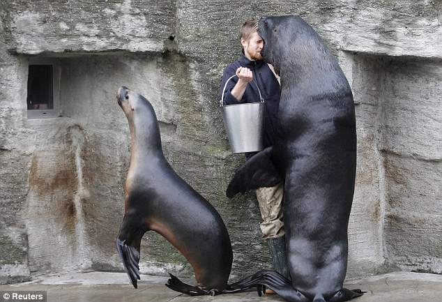 Tough job: A zoo keeper looks inside the mouth of a South American sea lion at 'Tiergarten Schoenbrunn' Zoo in Vienna