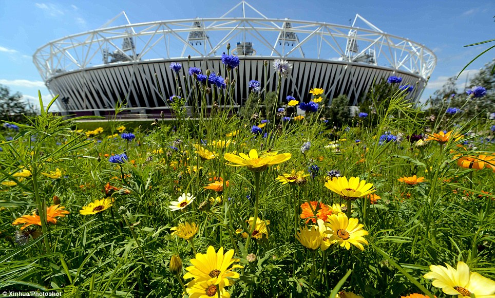 Blooming marvelous: A stunning array of white and yellow daisies now surround the Olympic Stadium which will host the Opening and Closing Ceremonies