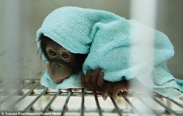 Cosy: Kalabatu rolls herself into a ball in her beloved towel