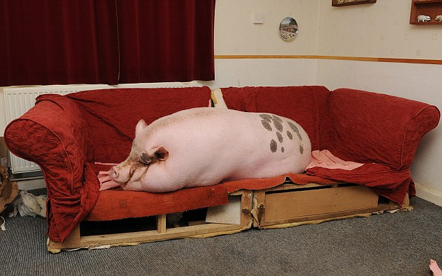 Pork flop: Babe the micro pig has grown to a whopping 25 stone and has taken over the home of owners Colin and Susie Webb