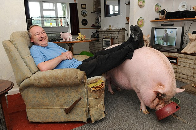 Feet up: Colin Webb thought a micro pig would make an ideal household pet and bought Babe on the internet for £250 as a gift for his wife Susie