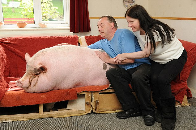 Part of the family: Despite her size, the Webbs say they are delighted to share their home with Babe