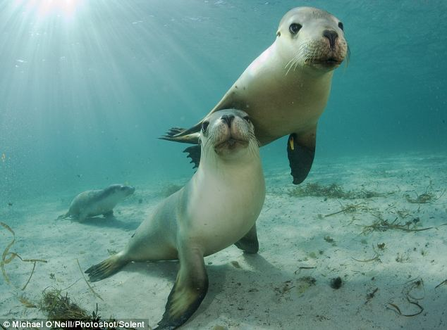 Playful: Two curious young sea lions check out the underwater photographer as he takes pictures of them near Port Lincoln, South Australia