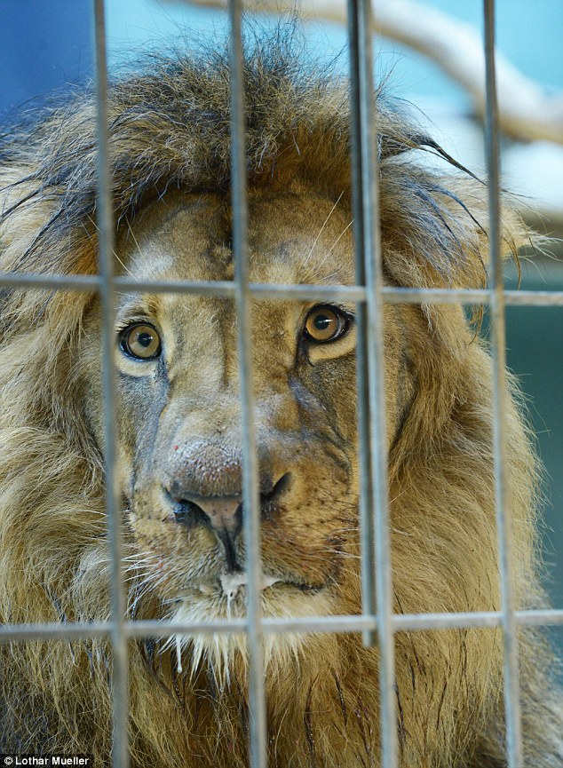 Cause: Although the lions began making a slow recovery on Saturday, experts say they need to regain more strength before blood samples can be taken from them - not likely to be until later in the week