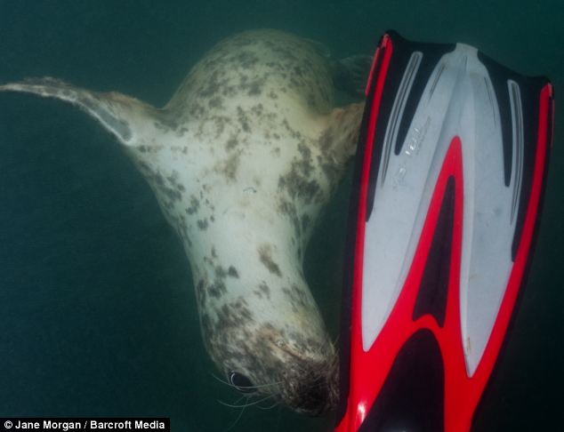 Fun times:  The young seal appears to think it's a puppy dog as it inspects a diver's flippers near the island of Lundy off the coast of Devon