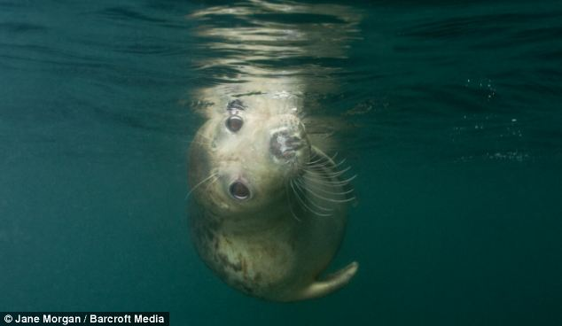 Cutey: The adorable creature looks coy as it floats close to the surface off the Devon coast
