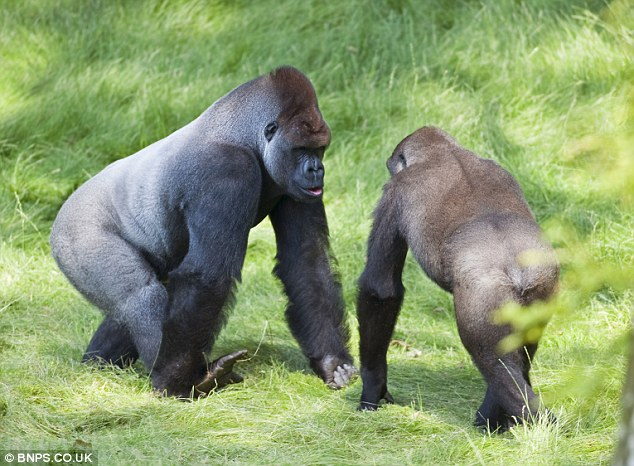 Family resemblance: The brothers were raised together at Dublin Zoo, but became separated when Kesho was chosen for a breeding programme