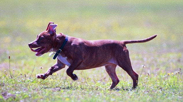 Attack: The young Staffordshire Bull Terrier puppy (file pic) was killed just for wetting the floor
