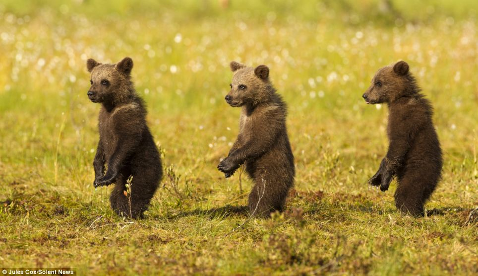 The trio are only too aware that a male bear could emerge from the woods at any moment to attack them