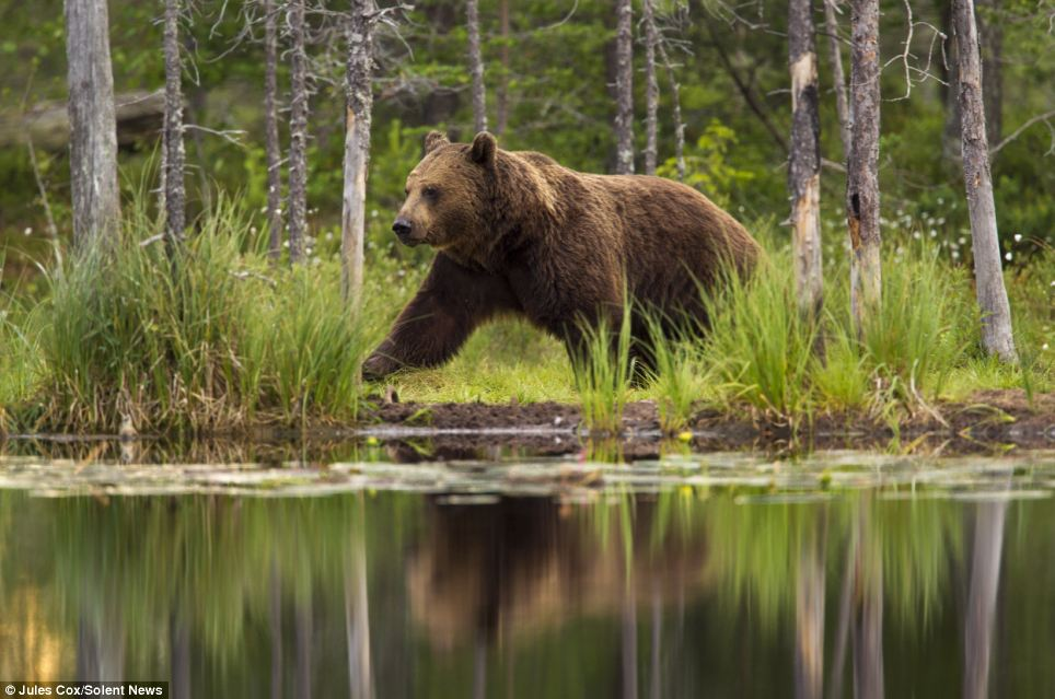 Large male bears such as this one have a reputation for killing a mother's cubs so they can mate with her
