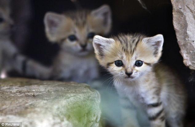 Rare: A sand kitten sits at her enclosure at the Ramat Gan Safari near Tel Aviv