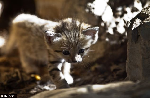 The sand cat (Felis margarita) has been listed as a 'threatened species' by the International Union for the Conservation of Nature