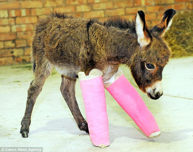 The little foal was born prematurely which meant the bones in her legs had not developed fully