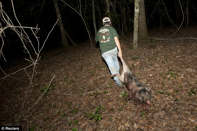 Success: Guide Hunter Pritchett, pictured, drags out a 60 pound a hog shot during a wild hog hunt