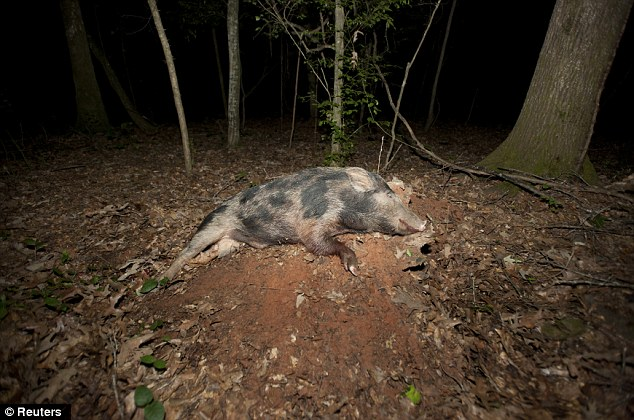 Dead: A 60 pound hog lies dead during a wild hog hunt at Great Southern Outdoors Wildlife Plantation in Union Springs