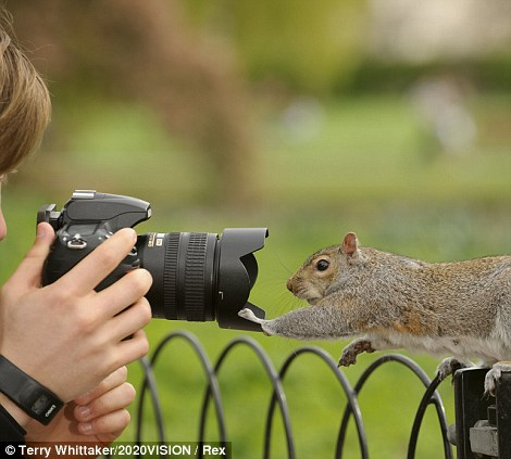Cheese!: A grey squirrel (sciurus carolinensis) is ready for his close up in Regent's Park, London.