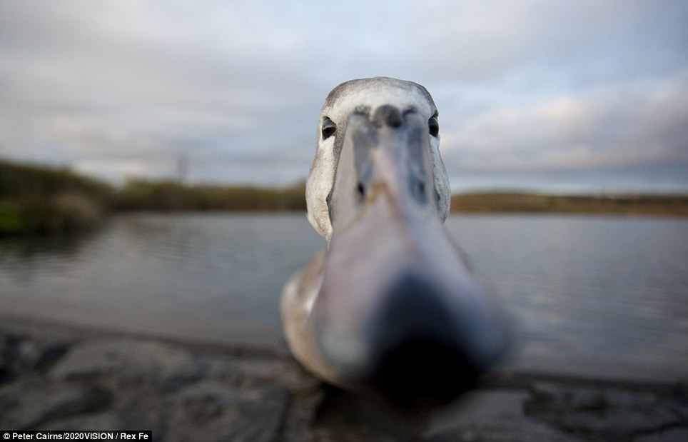 Papped!: A mute swan (cygnus olor) peering at a camera in Fife, Scotland.