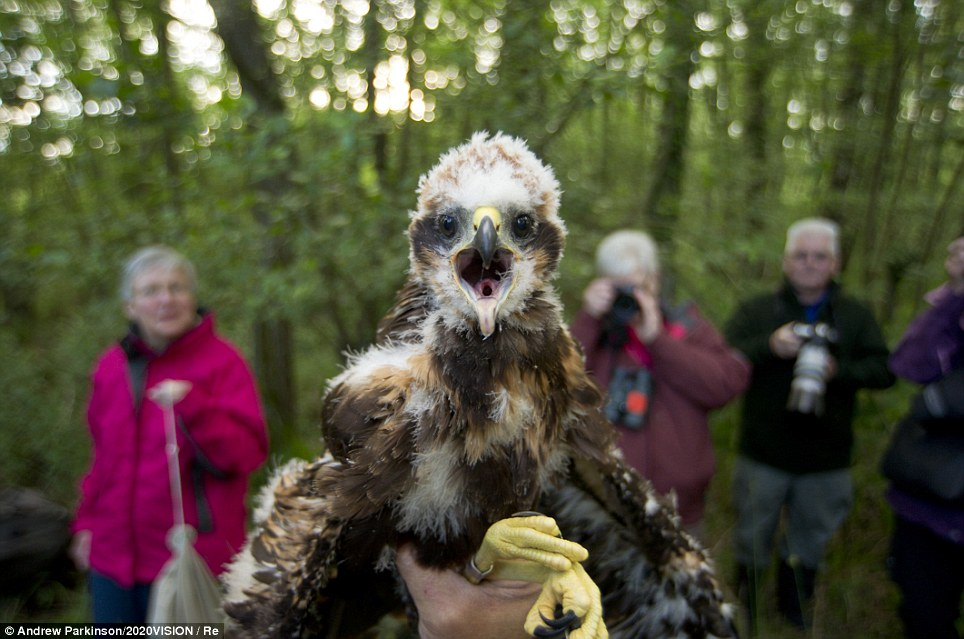 Cute: A marsh harrier (circus aeruginosus) chick, removed from its nest to be sexed, weighed and ringedat Sculthorpe Nature Reserve in Norfolk.