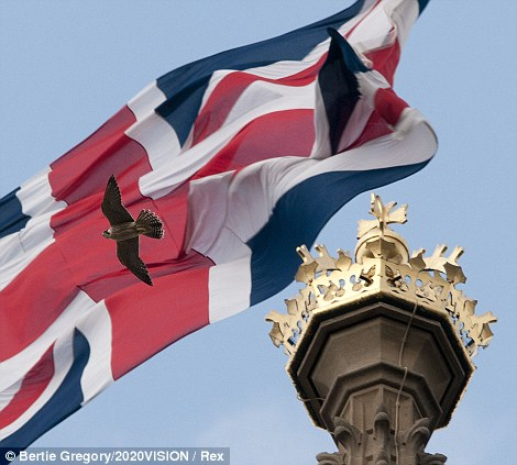 Rule Britannia: A juvenile peregrine falcon (falco peregrinus) flying in front of a Union Jack flag on top of the Houses of Parliament.