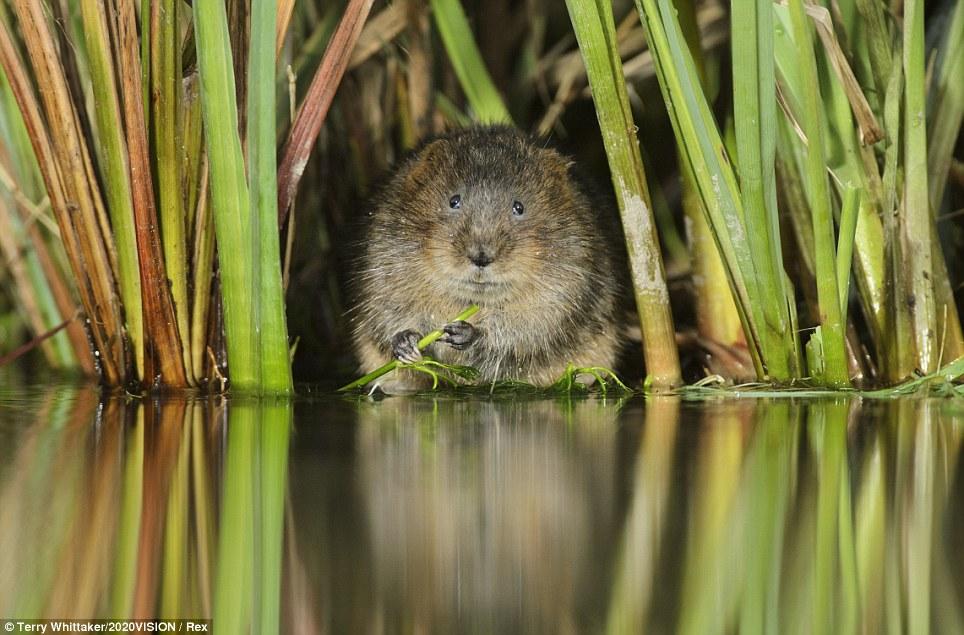 Riverside picnic: A water vole (arvicola amphibius / Arvicola terrestris) feeding in Kent.
