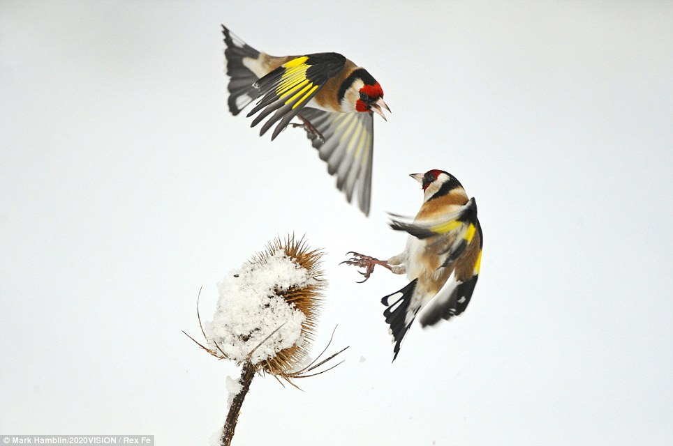 Face-off: Two Goldfinches (Carduelis carduelis) squabbling over Common teasel seeds in winter, Hope Farm RSPB reserve, Cambridgeshire.