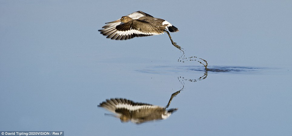Swooping: A black-tailed godwit (limosa limosa) taking off from a tidal pool in Norfolk.