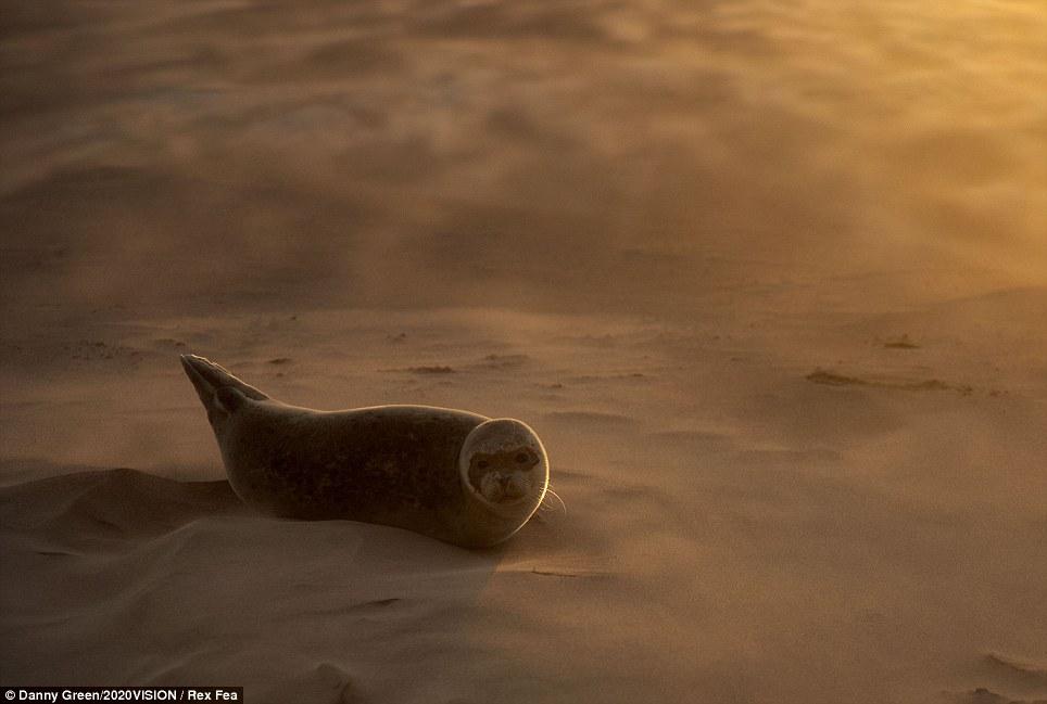 Common seal (Phoca vitulina) pup resting on a sandbank during a sandstorm, Donna Nook, Lincolnshire.