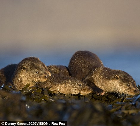 Basking: Three European river otters (lutra lutra) resting on seaweed on the Isle of Mull, Inner Hebrides, Scotland.