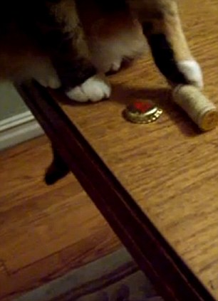 Kitty got skills: Poi Dog the cat nudges a bottle cap and wine cork screw to the floor