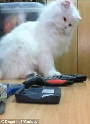 Star the cat prepares to push a calculator off the desk