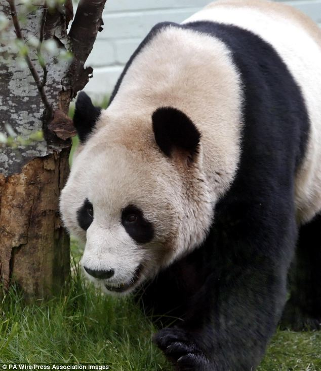 Come play with me! Visitors can get up close and personal with male panda Yang Guang at Edinburgh Zoo in Scotland