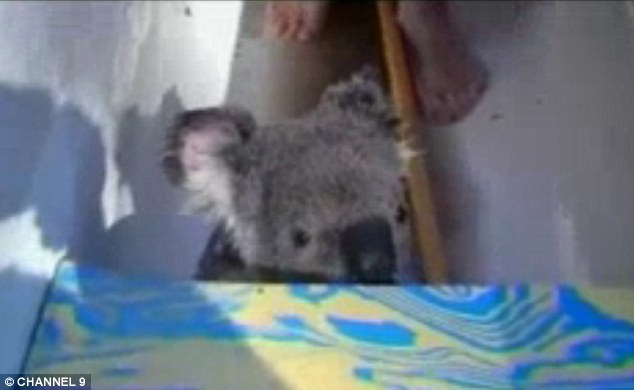 Koala's very rarely swim, and often drown after falling into pools. This little fellow seems at home gliding through the water