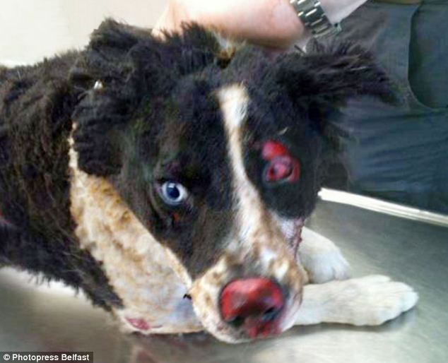 Horrific attack: Cody the Border Collie was doused in lighter fluid and then set alight, leaving it in a terrible state. Police are hunting for the people who did this.