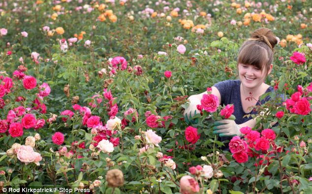 Not all doom and gloom: Rose Breeding Assistant, Rhian Kearney, 22, checks this year's rose plants, which have bloomed because of the bad weather