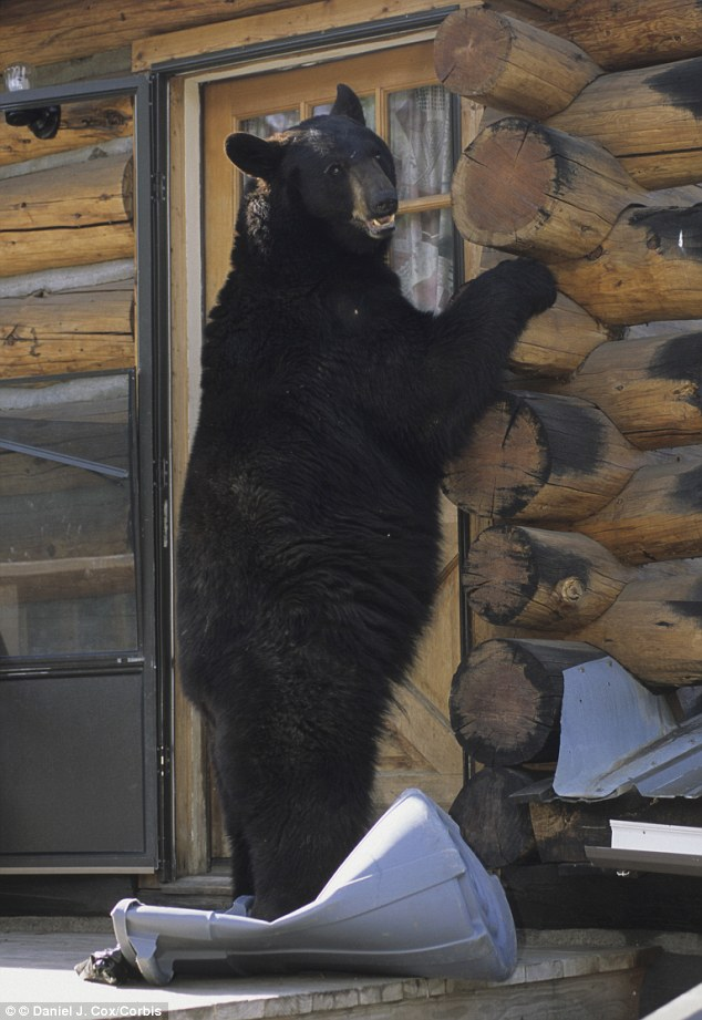 Knock knock: A Montana rancher was surprised to find a black bear in his home raiding the pantry and going through the rubbish when he returned home on Monday night (Stock image)