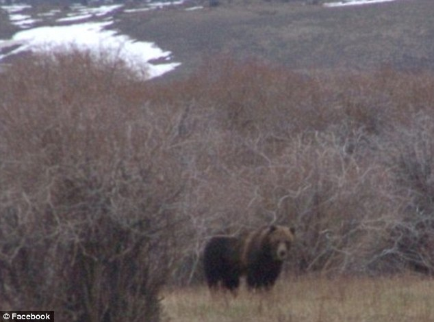 Friends: Bev Yeager posts pictures of the grizzly bears like this one that regular visit their family yard on the Rocky Mountain Front near Ear Mountain