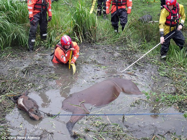 Trapped: Horse Jeremy, a 27-year-old gelding is barely able to breath as firefighters begin to pull him out