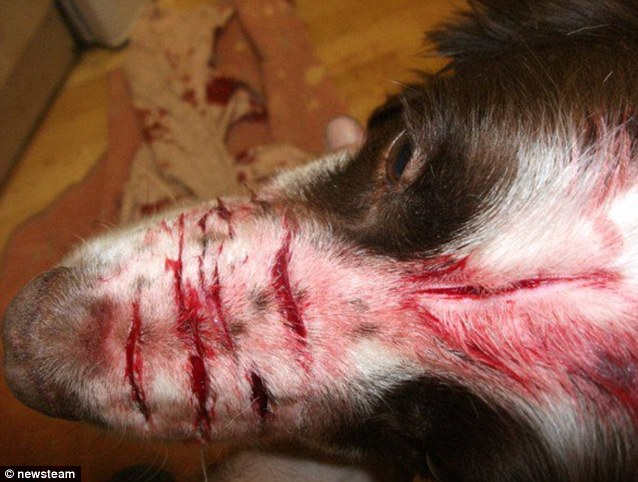 Shocking: This image shows the horrific injuries suffered by springer spaniel Stig during a brutal attack by owner Kim Edmonds