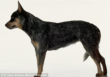 Plucky: Basil the blue heeler survived for a month by drinking water from a toilet after being trapped alone inside a house. This is a file picture of a blue heeler