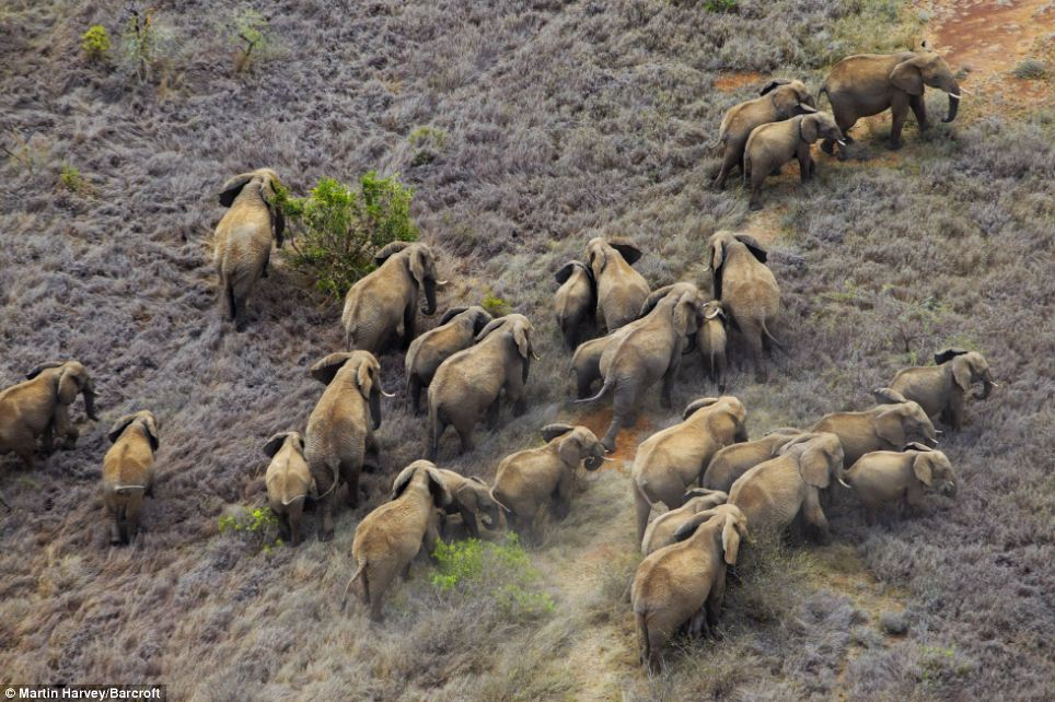 Iconic: The helicopter provided a spectacular view of a herd of African elephants - a member of the group of iconic African animals known as the 'big five'