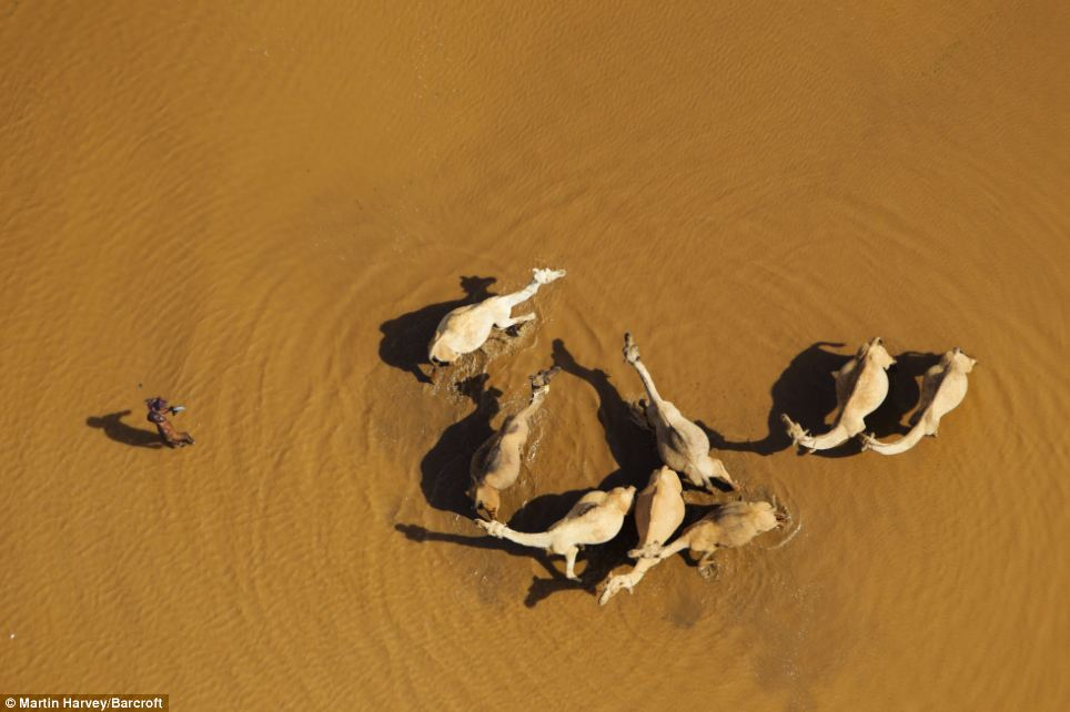 Wildlife: These camels in the Chalbi Desert in northern Kenya are among the African animals captured from above in these stunning pictures