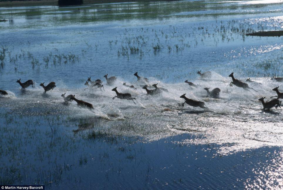 On the move: Sunlight glints on the water as a herd of lechwe antelope runs across floodplains in Botswana's Okavango Delta