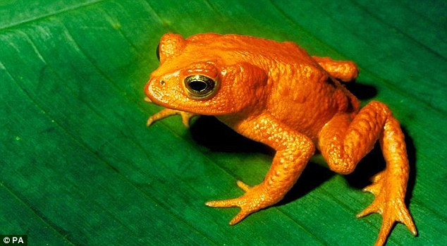 The 'golden toad' has been lost from the planet, thanks to a shocking decline across toad species: 30 per cent of frog populations are threatened with extinction