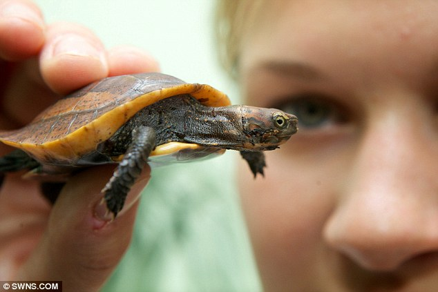 Hannah Worrall, from Bristol Zoo Gardens holds a seven-week-old Vietnamese box turtle named Vernon, weighing 28g and only 5cm long, one of the worlds rarest species of turtle in the world.