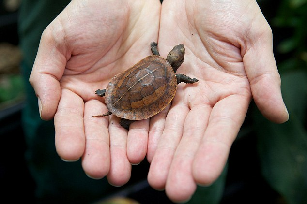 Careful now: The tiny turtle comfortably fits in the hands of Tim Skelton, curator of reptiles, from Bristol Zoo Gardens