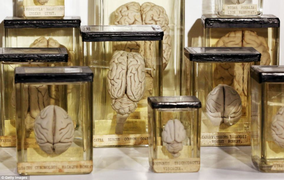 Animal brains preserved in the collection